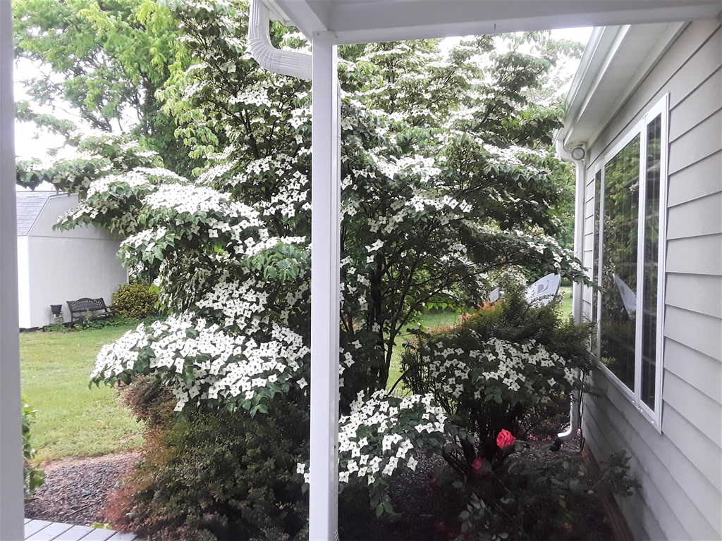 Hybrid Dogwood Outside Master Bedroom